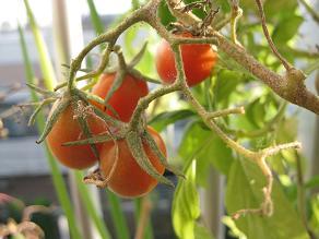 トマト 001.jpg