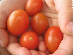 トマト 002.jpg
